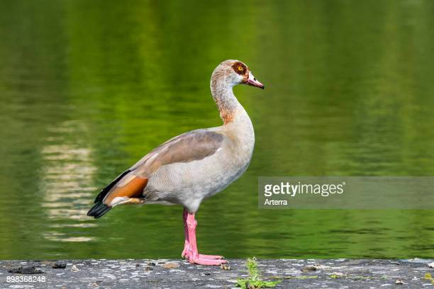 Egyptian goose standing on lake bank native to Africa and the Nile Valley