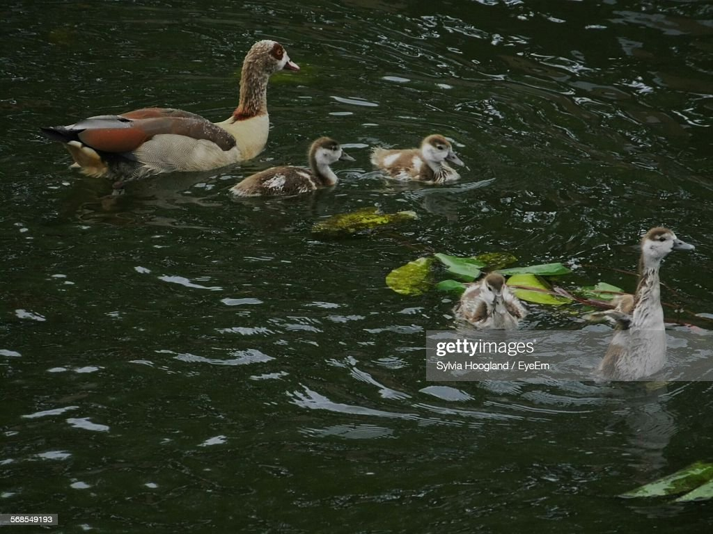 Egyptian Goose With Gosling Swimming In River : Stock Photo