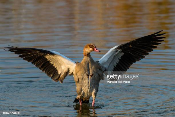Egyptian goose with its wings spread during an autumn day in the Valdebernardo Forest Park Egyptian geese are native to Africa Due to its colonizing...