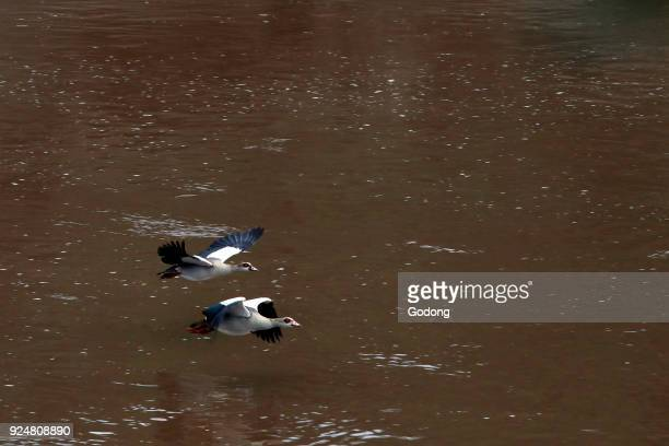 Egyptian Gooses Masai Mara game reserve Kenya