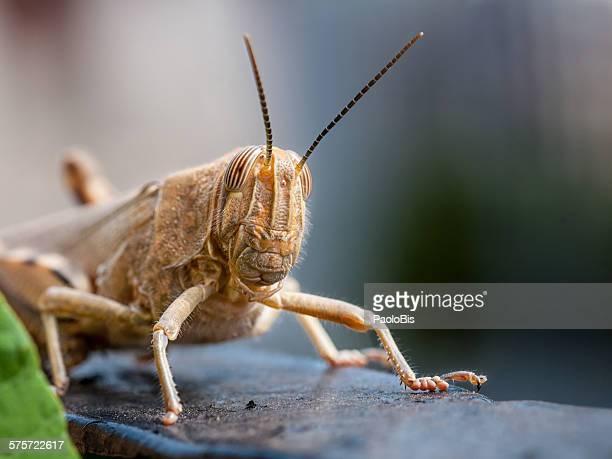 Egyptian locust, Anacridium aegyptium,Veneto Italy