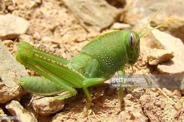 Egyptian Locust (Anacridium aegyptium)