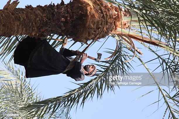 Egyptian man in traditional Arab clothing stands bare foot at the top of a large palm tree as he wields an axe to cut palm fronds down whilst pruning...