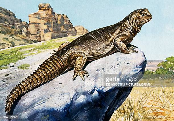 Egyptian spinytailed Lizard Agamidae drawing