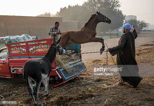Egyptian traders try to pull a horse off from the rear of a pickup truck at the bazaar in Baragil 15 kilometers west of Cairo Egypt on October 14...