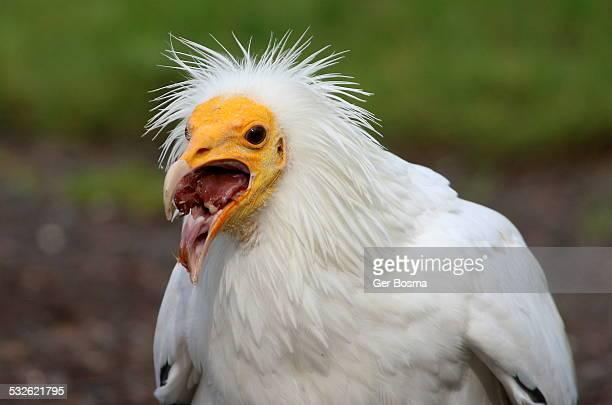 Egyptian Vulture Buffet