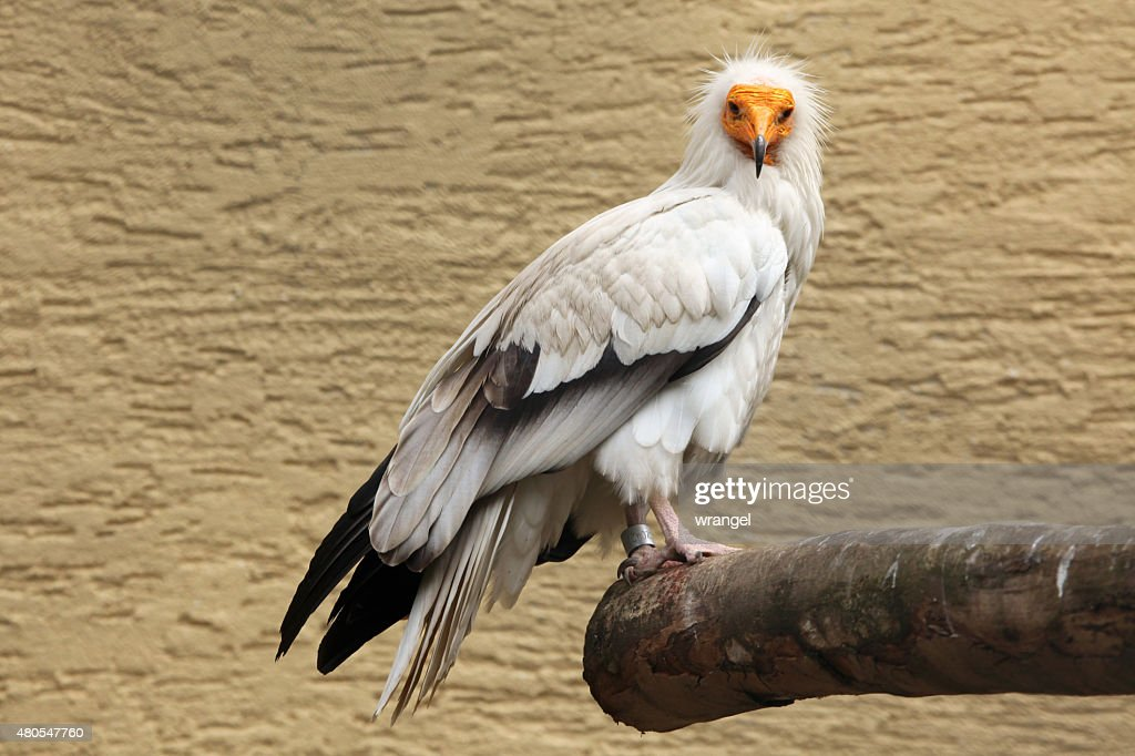 Buitre egipcio (Neophron percnopterus). : Foto de stock
