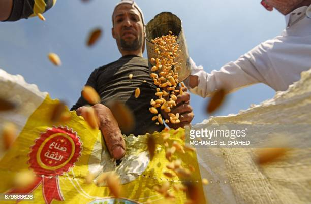 Egyptian workers harvest wheat in the village of Shamma in the Egyptian Nile Delta province of alMinufiyah on May 6 2017 / AFP PHOTO / MOHAMED...