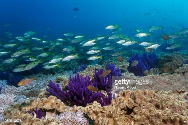ehrenberg's snapper (lutjanus ehrenbergii), swarm floats over coral reef, reef roof with red sea whip (ellisella sp.), leathery corals (alcyoniidae), daymaniyat islands nature reserve, indian ocean, khawr suwasi, al-batina province, oman - sea life stock pictures, royalty-free photos & images