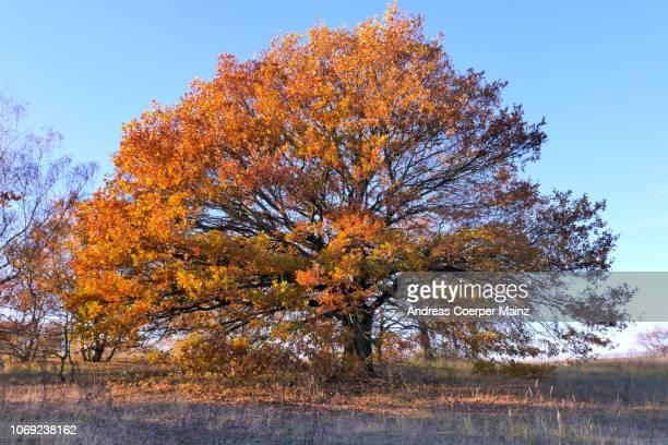 Eiche mit Herbstlaub vor blauem Himmel