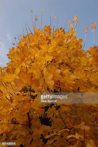Eichenbaum, Ostseebad Zinnowitz, Ostsee-Insel Usedom, Mecklenburg-Vorpommern, Deutschland, Europa, Ostseeinsel, Reise, DIG, AS, orange, Herbst, ;...