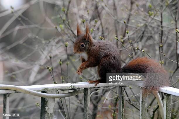 Eichhörnchen , regional auch Eichkätzchen, Eichkater oder niederdeutsch Katteker, ist ein Nagetier aus der Familie der Hörnchen . Sitzt auf einem...