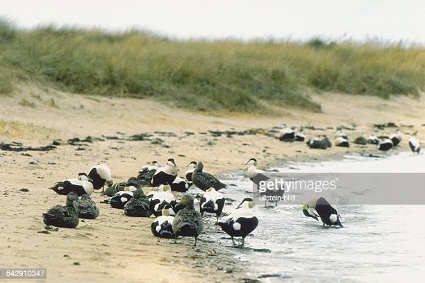 Eiderenten am Strand von Amrum, männliche wie weibliche Tiere. Aufgenommen um 1998.