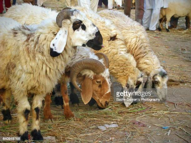 eid-ul-adha - aid el kebir photos et images de collection