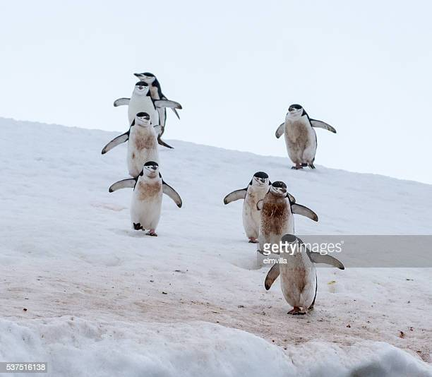 eight chinstrap penguins walking in snow in antarticta - chinstrap penguin stock pictures, royalty-free photos & images
