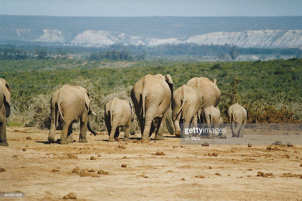 Eight Elephants Walking : Stock Photo