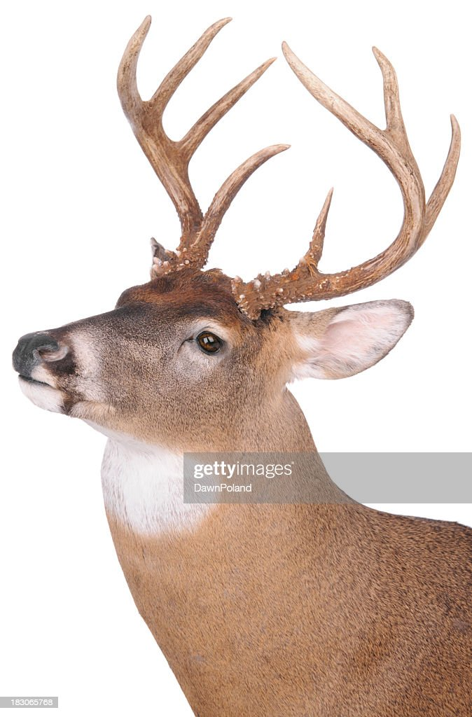 Eight point buck on white background : Stock Photo