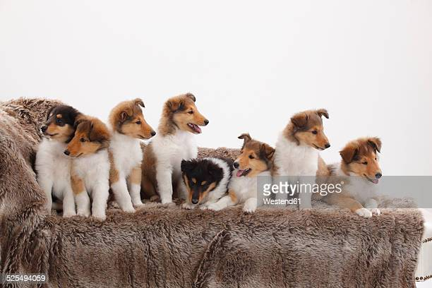 eight rough collie puppies sitting on a couch in front of white background - collie stock pictures, royalty-free photos & images