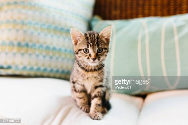 eight week old tortoiseshell kitten on sofa - tabby stock pictures, royalty-free photos & images
