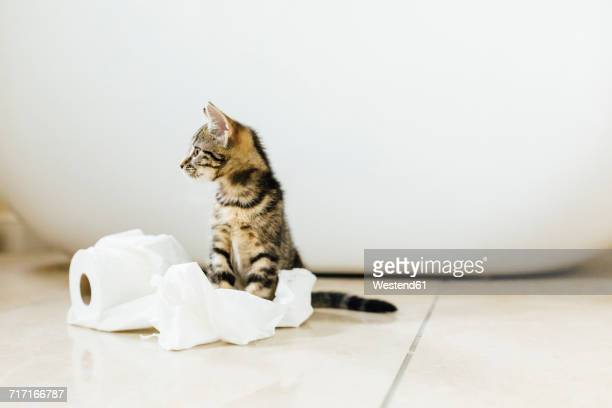 eight week old tortoiseshell kitten playing with toilet roll - funny toilet paper stock pictures, royalty-free photos & images