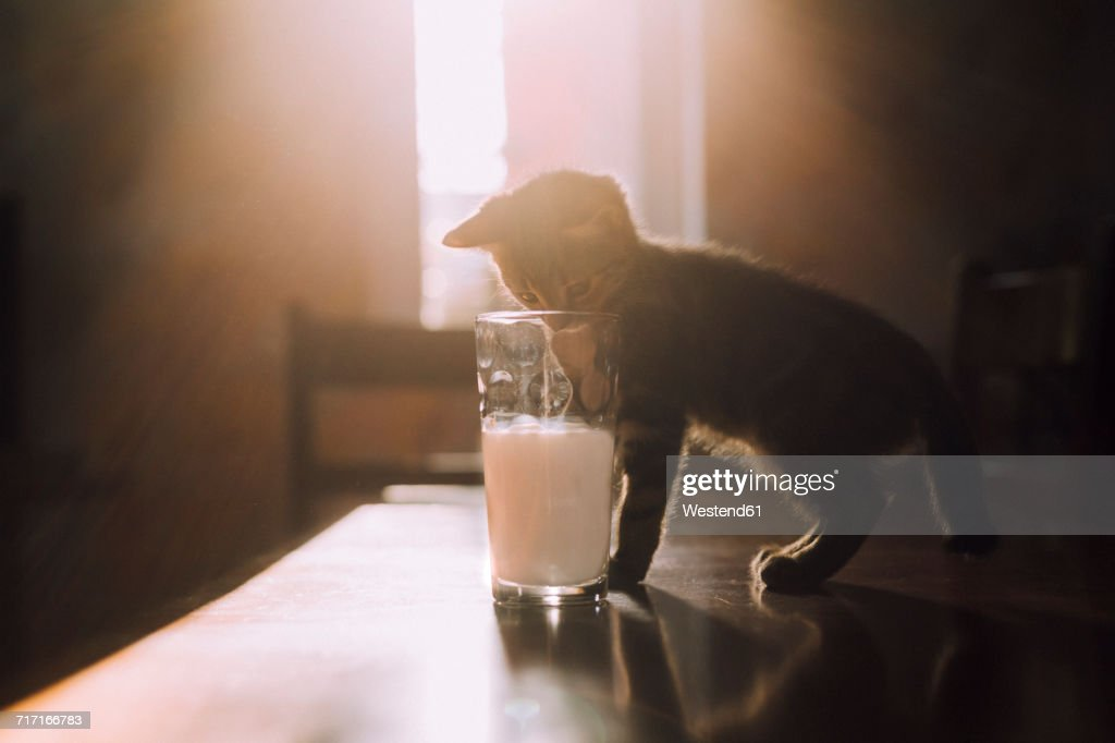 Eight week old tortoiseshell kitten trying to drink milk from a glass in the morning sunlight : Stock Photo
