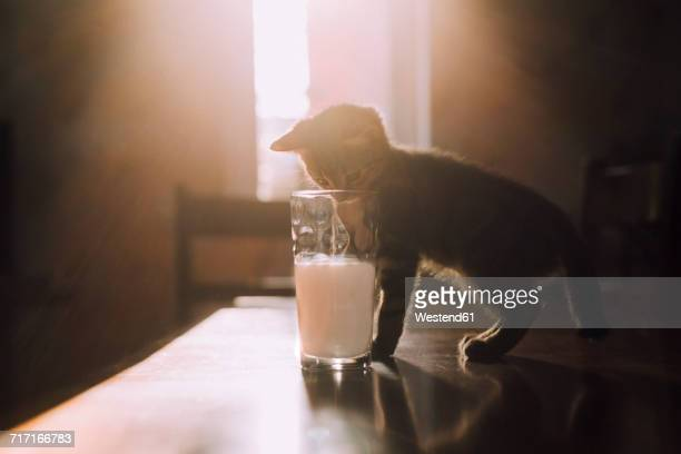 Eight week old tortoiseshell kitten trying to drink milk from a glass in the morning sunlight
