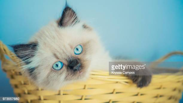 eight weeks old kitten laying in basket - gattini appena nati foto e immagini stock