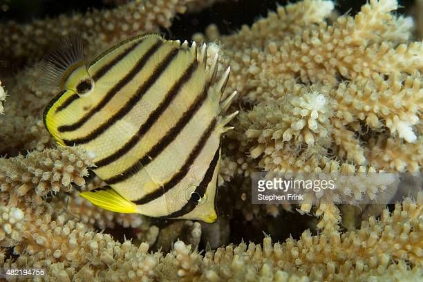 Eight-banded butterflyfish.