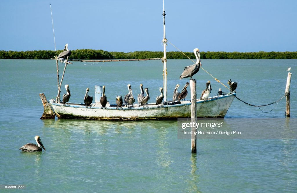 Eighteen Brown pelicans (Pelecanus occidentalis) on and around an old, small fishing boat in winter : Stock Photo
