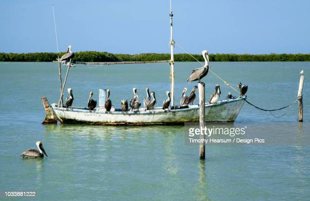 Eighteen Brown pelicans (Pelecanus occidentalis) on and around an old, small fishing boat in winter
