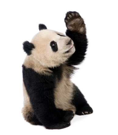 Eighteen month old panda bear pawing at the air 93216448