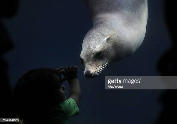 Eighteenmonthold visitor Jose Tavarez of Dover Delaware watches a California sea lion at the Smithsonian National Zoological Park August 22 2016 in...
