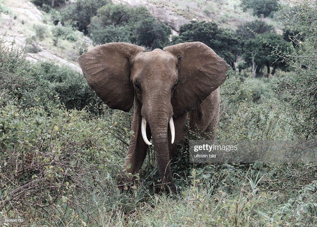 Roter Elefant im Nationalpark Tsavo-Ost : News Photo