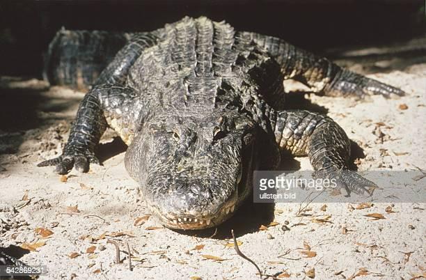 Ein Alligator liegt dösend in der Sonne. Aufgenommen um 1997.
