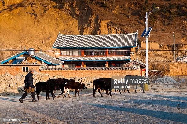 ein Bauer treibt Kuehe durch Zhongdian
