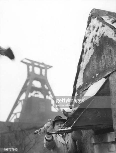 Ein Bergmann kümmert sich in der Freizeit um seine Tauben, aufgenommen 1959. Das Züchten von Tauben ist untrennbar mit den Kumpel im Ruhrgebiet...