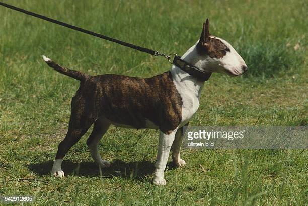 Ein Bullterrier Mischung aus Bulldogge und Spanischem Pointer an der Leine Aufgenommen um 2000