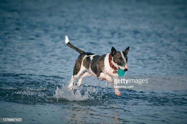 ein bullterrier rennt durch das wasser - bull terrier stock pictures, royalty-free photos & images