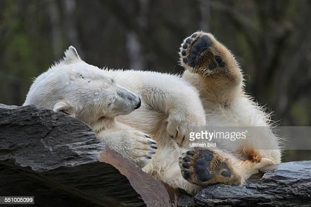 Ein Eisbär im Tierpark BerlinFriedrichsfelde beim Mittagsschlaf