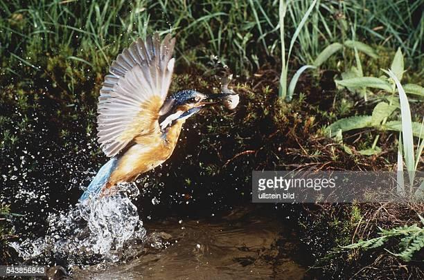 Ein Eisvogel , Länge ca. 17 cm, taucht flügelschlagend aus dem Wasser auf, im Schnabel einen erbeuteten Fisch. Aufgenommen um 1996.