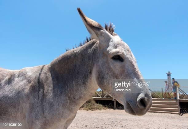 Ein Esel steht neben einem Fussgaengerweg und Strandzugang vor dem Leuchtturm am Strand bei Morro Jable auf der kanarischen Insel Fuerteventura in...