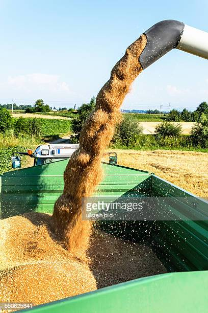 Ein Getreidefeld mit Weizen bei der Ernte Ein Mähdrescher bei der Arbeit
