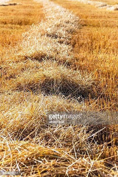 Ein Getreidefeld mit Weizen nach der Ernte