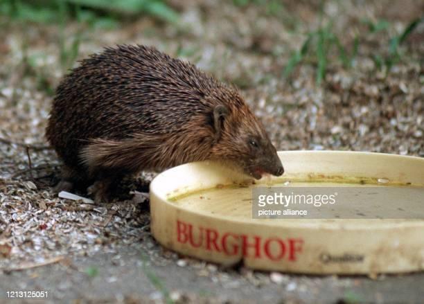 Ein Igel löscht an einer flachen Wasserschale seinen Durst. Tierschützer raten Gartenbesitzern Gefäße aufzustellen, damit Igel bei der Wassersuche...