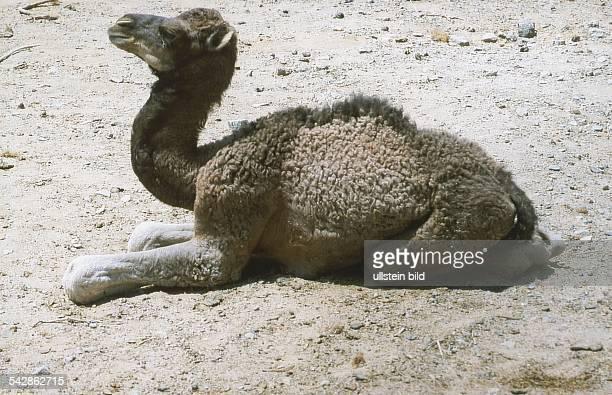 Ein junges, auf Wüstenboden sitzendes Dromedar , auch Einhöckeriges Kamel genannt. Aufgenommen um 1998.