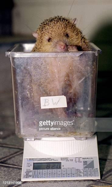 Ein kleiner Borstenigel aus Madagaskar, ein Tanrek, verschwindet am im Berliner Zoo fast in der großen Waage. Kein Wunder - er bringt es auch gerade...