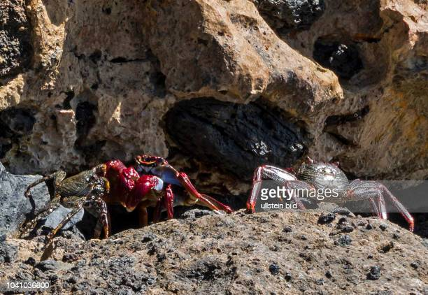 Ein Krebs am Strand in der Naehe von Morro Jable auf der kanarischen Insel Fuerteventura in Spanien.
