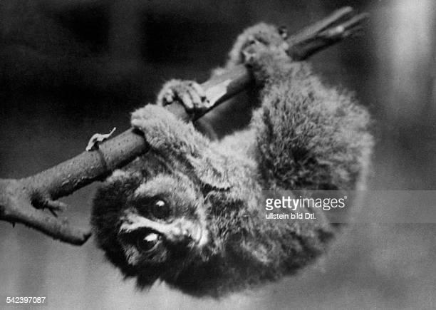 Ein Lori klettert an einem Asterschienen 1935
