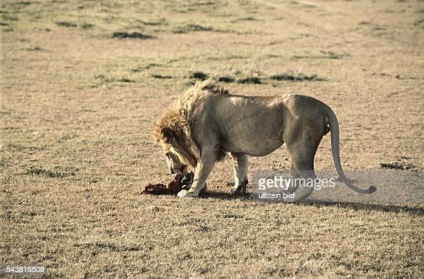 Ein Löwe in freier Wildbahn frißt seine Beute. Aufgenommen um 1992.