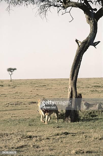Ein Löwe mit einem Beutestück im Maul steht unter einem Baum. Im Hintergrund weitere Löwen. Aufgenommen um 1992.